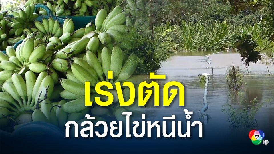 สุโขทัยน้ำลด ชาวสวนเร่งตัดกล้วยไข่ หวั่นจมน้ำนานเสียหายหนัก