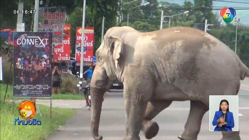 เตือนอันตราย ช้างพลายงาเดียวเขาใหญ่ ออกจากป่าหากินในชุมชน