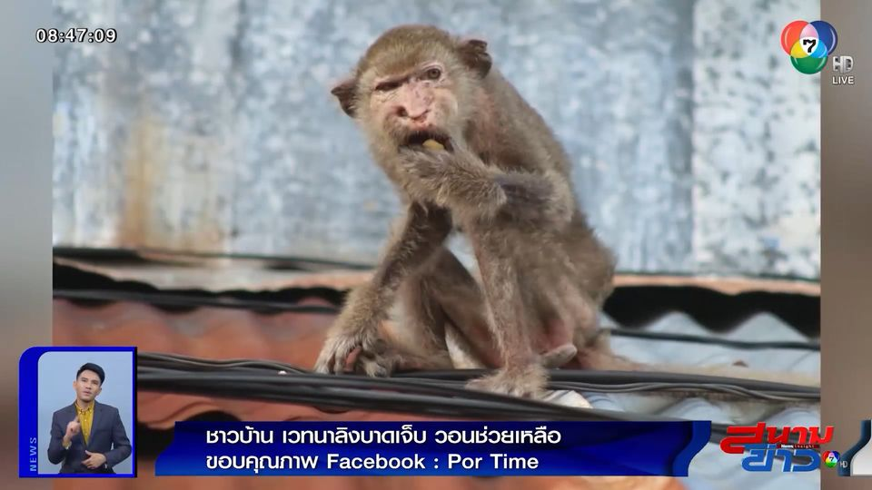 ภาพเป็นข่าว : สุดเวทนา! ลิงลพบุรีบาดเจ็บ ผอมโซ กินแทบไม่ได้ ชาวบ้านวอนช่วยเหลือ