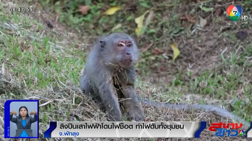 ภาพเป็นข่าว : ลิงปีนเสาไฟฟ้าโดนไฟช็อต ทำไฟดับทั้งชุมชน