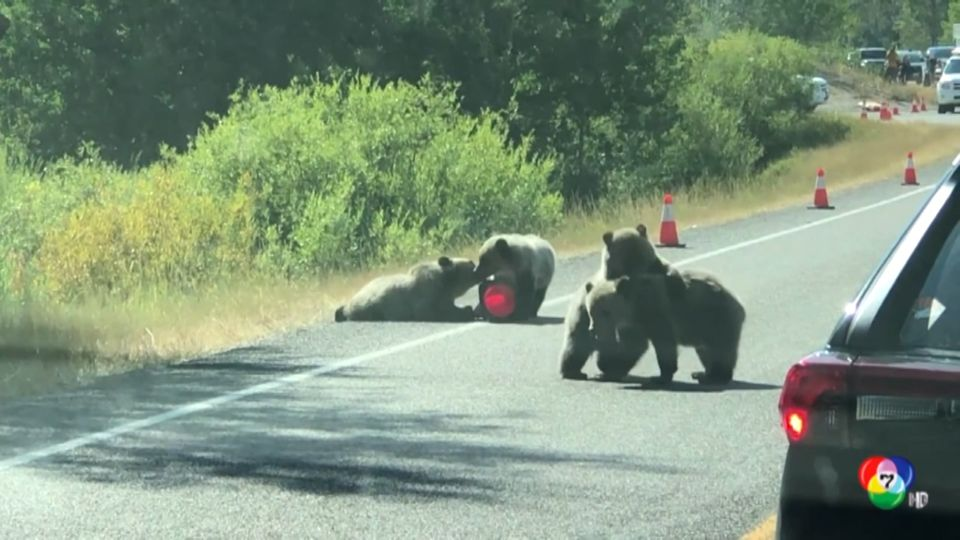 ลูกหมีกริซลีต่อสู้กันบนถนน ทำการจราจรติดขัดในสหรัฐฯ