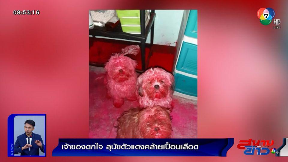 ภาพเป็นข่าว : เจ้าของตกใจ สุนัขตัวแดงคล้ายเปื้อนเลือด