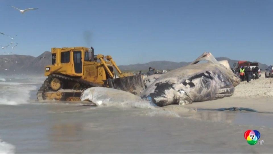 แอฟริกาใต้เร่งเคลื่อนย้ายซากวาฬเกยตื้นไปฝัง