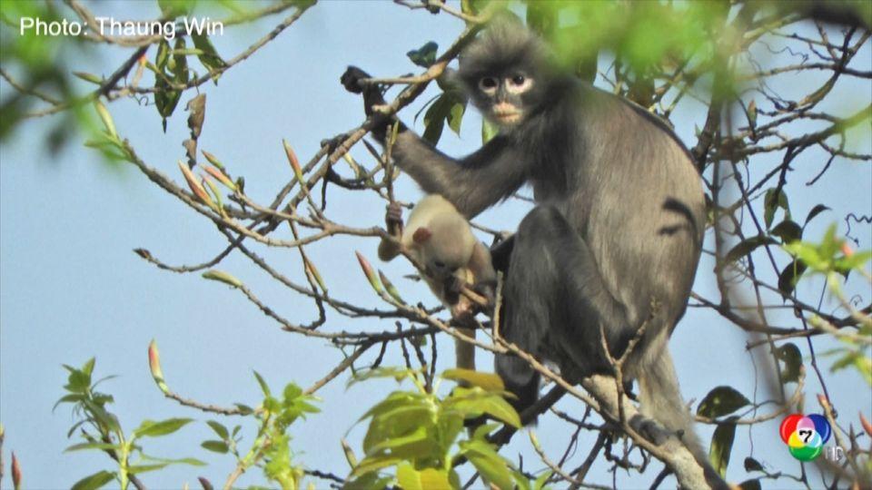 ค้นพบลิงสายพันธุ์ใหม่ในเมียนมา แต่กำลังเสี่ยงสูญพันธุ์