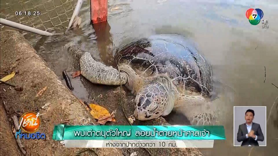 พบเต่าตนุตัวใหญ่ ลอยน้ำตายหน้าศาลเจ้า ห่างจากปากอ่าวกว่า 10 กม.