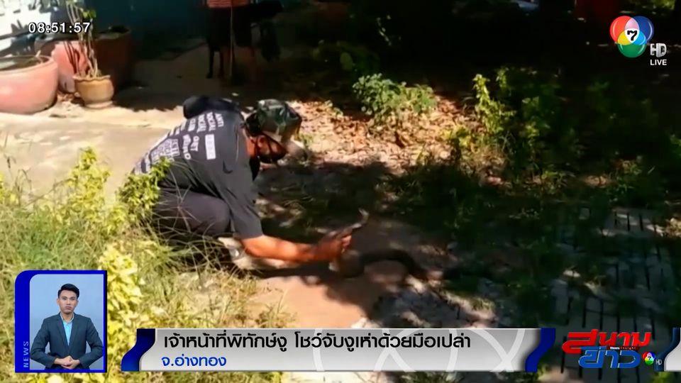 ภาพเป็นข่าว : เจ้าหน้าที่พิทักษ์งู โชว์จับงูเห่าด้วยมือเปล่า จ.อ่างทอง