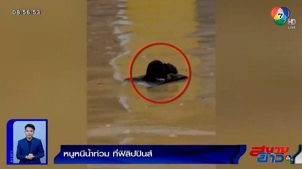 ภาพเป็นข่าว : ใครก็รักชีวิต! หนูนั่งบนแผ่นไม้ ลอยหนีน้ำท่วม ที่ฟิลิปปินส์