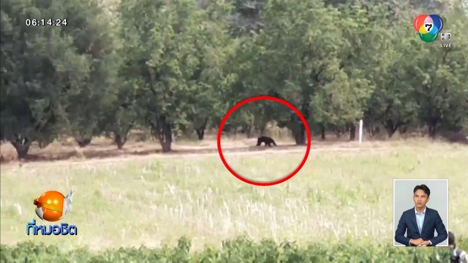 เปิดปฏิบัติการ ไล่ต้อนหมีควายกลับเข้าป่า หลังหากินท้ายหมู่บ้าน