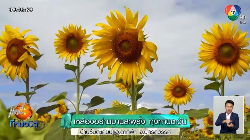 เหลืองอร่ามบานสะพรั่ง ทุ่งทานตะวัน บ้านซับตะเคียน อ.ตากฟ้า จ.นครสวรรค์