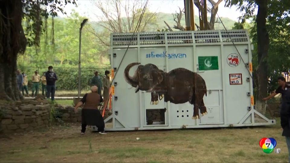 ปล่อยช้างที่โดดเดี่ยวที่สุดในโลกกลับคืนสู่ธรรมชาติ
