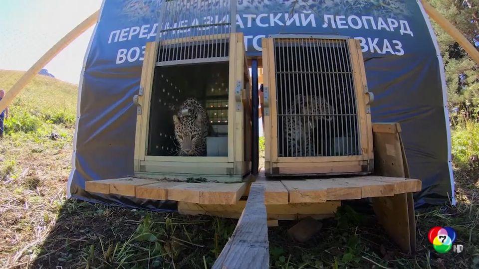 สวีเดนส่งเสือดาว 2 ตัว ถึงรัสเซียแล้ว เพื่อร่วมโครงการปล่อยสัตว์กลับสู่ป่า