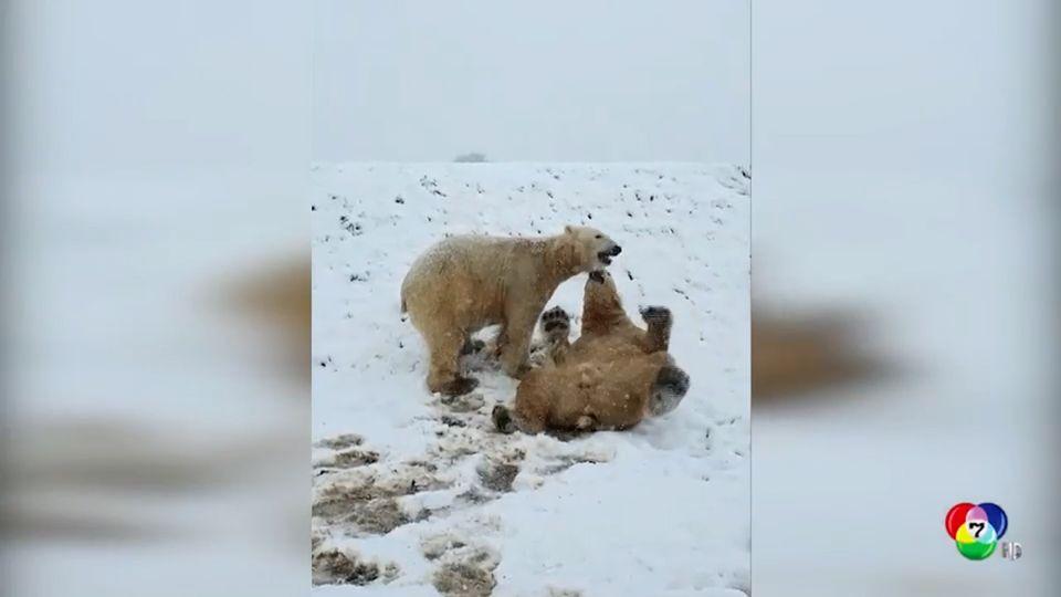 หมีขั้วโลกไถลหิมะเล่นในอุทยานสัตว์ป่าของอังกฤษ