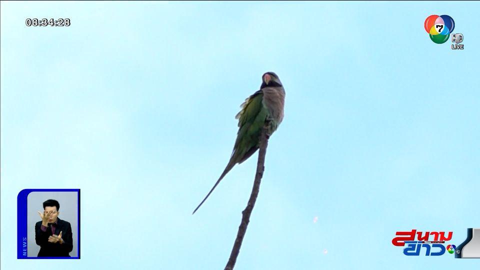 อนุวัตจัดให้ : นกแก้วโมง ฝูงสุดท้าย จ.นนทบุรี