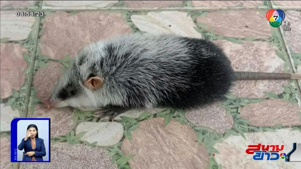 ภาพเป็นข่าว : เด็กๆ ฮือฮา หนูเหม็น สัตว์หายาก วิ่งวุ่นเข้ามาในห้องเรียน