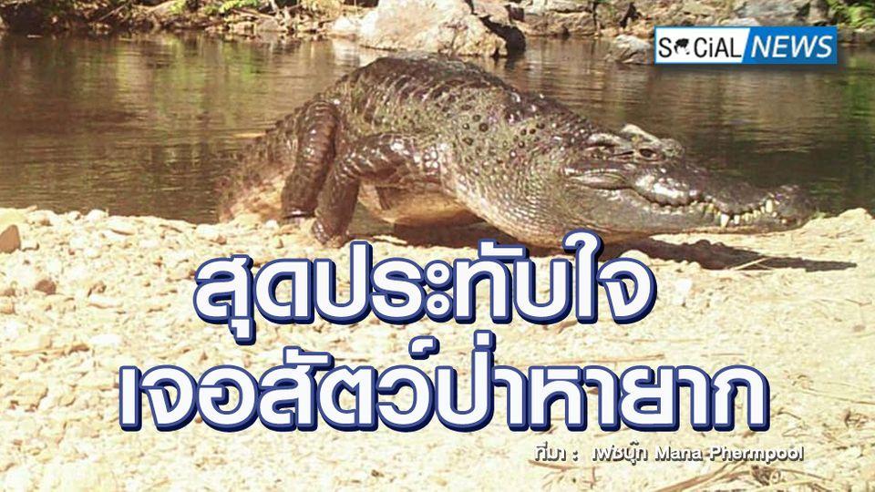 สัญญานที่ดี! เจอจระเข้น้ำจืดสายพันธ์ไทยดั้งเดิมตัวใหม่ สัตว์ป่าหายาก