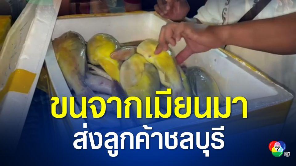 รวบ 3 ผู้ต้องหา ลอบนำเข้าปลาปักเป้าจากเมียนมาส่งชลบุรี