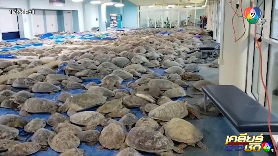 เท็กซัสหนาวจัด อาสาสมัครเร่งช่วยเต่าทะเลเกือบ 5 พันตัว หนีหนาว