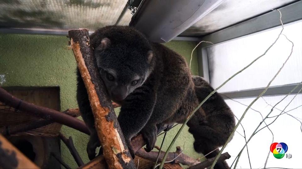 สวนสัตว์โปแลนด์เปิดตัวลูกหมีต้นไม้ หรือ แบร์ คุส คุส