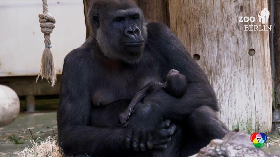 สวนสัตว์ในกรุงเบอร์ลิน ต้อนรับลูกกอริลลาเกิดใหม่ เป็นครั้งแรกในรอบ 16 ปี