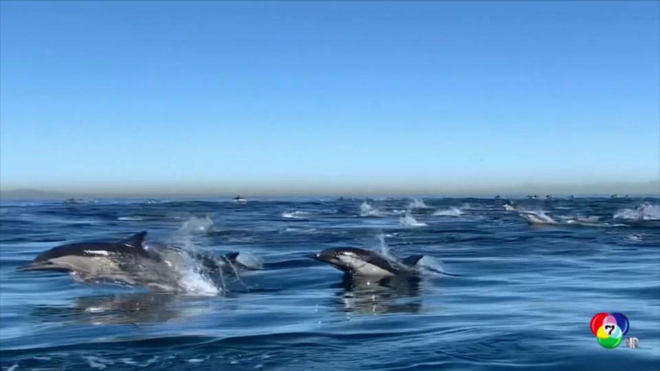 ฝูงโลมานับพันว่ายน้ำแข่งกับเรือในสหรัฐฯ