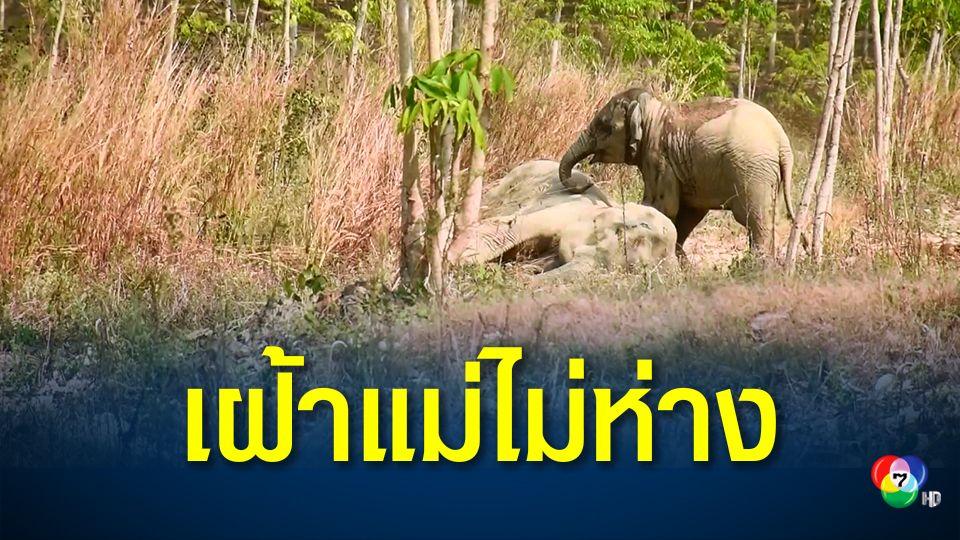 รุดช่วยเหลือช้างป่าแม่ลูก หลงฝูง-ล้มป่วย ในสวนยางพารา