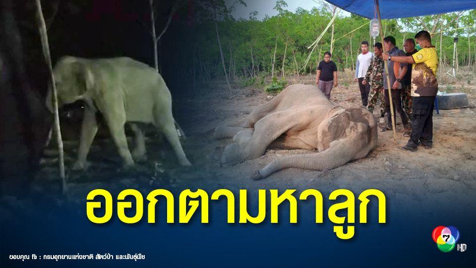 โล่งอก! แม่ช้างป่าเขาอ่างฤาไนที่ป่วย ลุกยืนได้แล้ว เดินเข้าป่ากลับฝูง ออกตามหาลูก