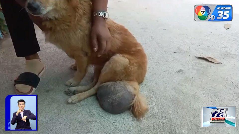 วอนช่วยเหลือ 'เจ้ามะขาม' สุนัขอายุ 12 ปี เป็นเนื้องอกที่ขา เจ็บปวดทรมาน