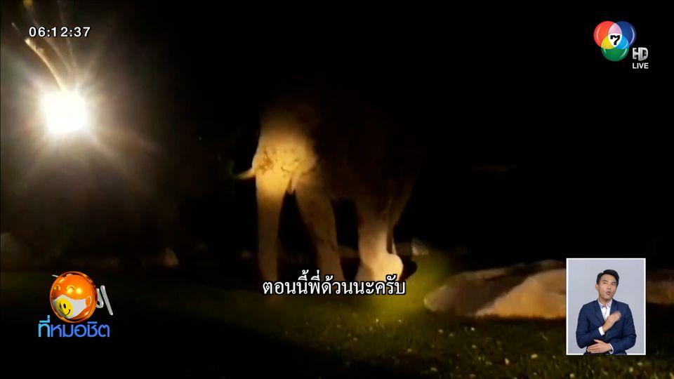 เจ้าด้วน ช้างป่าเขาใหญ่ บุกกินมะม่วงในรีสอร์ตกลางดึก