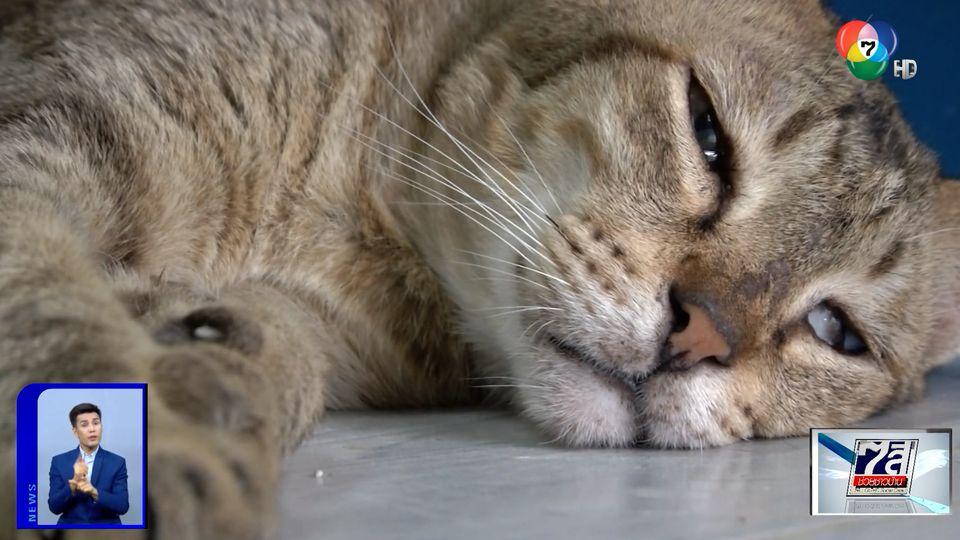 ปิ่นอาสา : อิ่มใจ ผู้ใจบุญช่วยเหลือแมวของยายเรณู