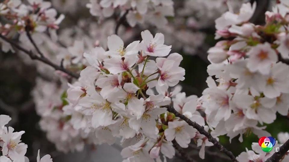 ดอกซากุระในญี่ปุ่น บานเร็วกว่าปกติในรอบ 70 ปี