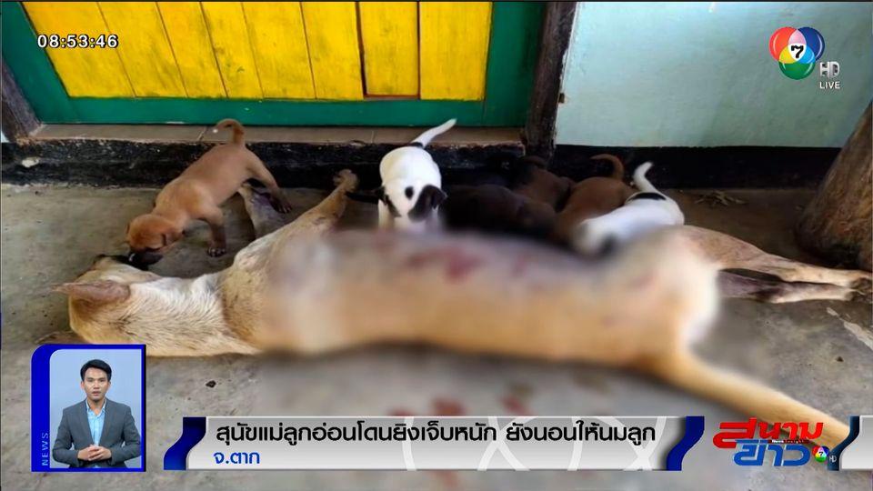 ภาพเป็นข่าว : สลดใจ สุนัขแม่ลูกอ่อนโดนยิงเจ็บหนัก ยังนอนให้นมลูกน้อย