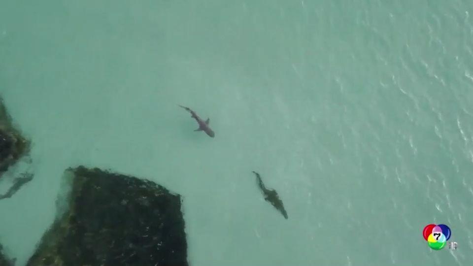 เผยภาพฉลามว่ายน้ำไล่ตามจระเข้ในออสเตรเลีย