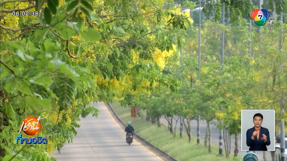 ดอกคูนบานสะพรั่งทั่วตัวเมืองขอนแก่น ส่งท้ายปีใหม่ไทย