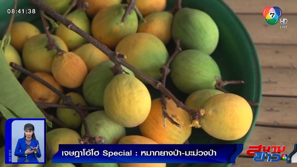 เจษฎาโอ้โฮ Special : หมากยางป่า-มะม่วงป่า จ.อุบลราชธานี