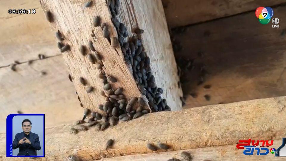 ภาพเป็นข่าว : ชาวโคราชร้องถูกกองทัพแมลงปีกแข็งบุกบ้าน วอน จนท.เข้าช่วยเหลือ