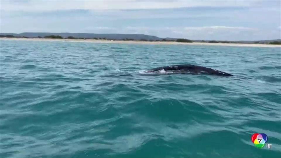 เร่งช่วยวาฬสีเทาหลงทางในทะเลเมดิเตอร์เรเนียน