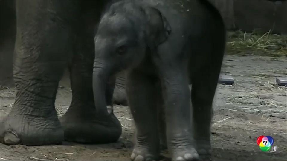 สวนสัตว์เนเธอร์แลนด์ต้อนรับลูกช้างเกิดใหม่