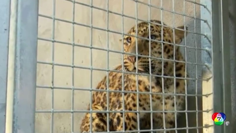 เจ้าหน้าที่เร่งตามหาเสือดาวหลุดออกจากสวนสัตว์ในจีน