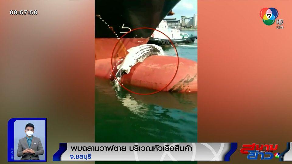 ภาพเป็นข่าว : มาได้ไง! พบฉลามวาฬตายคาหัวเรือบรรทุกสินค้า