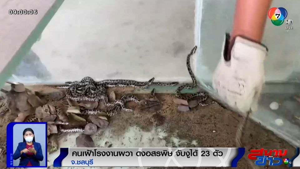 ภาพเป็นข่าว : หนุ่มเฝ้าโรงงานผวา! ดงอสรพิษ จับงูได้ 23 ตัว จ.ชลบุรี