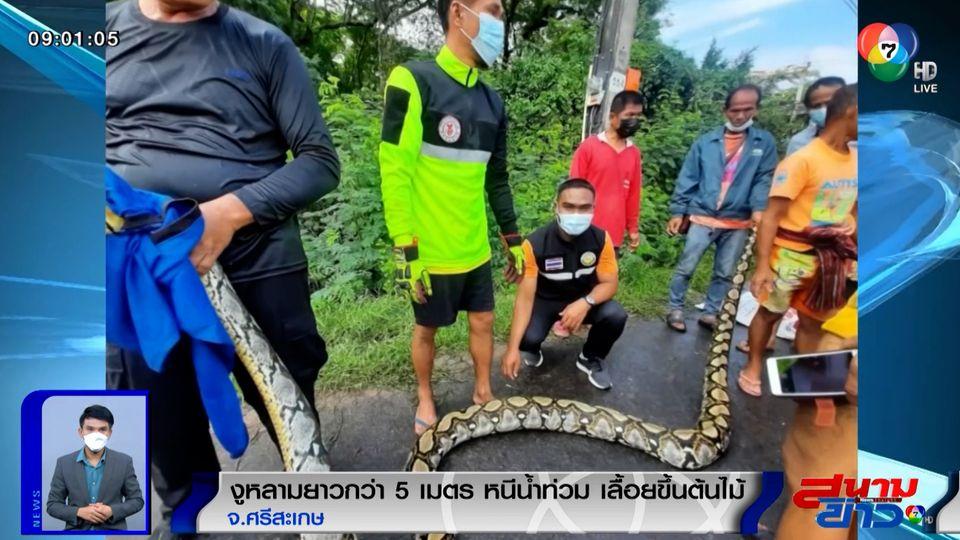 ภาพเป็นข่าว : ผวาอีกแล้ว! งูหลามยาวกว่า 5 เมตร หนีน้ำปีนขึ้นต้นไม้ จ.ศรีสะเกษ