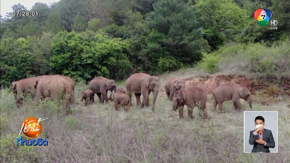 โขลงช้างป่าจีน มุ่งหน้าเดินเข้าพื้นที่เขตหมู่บ้านต่อเนื่อง