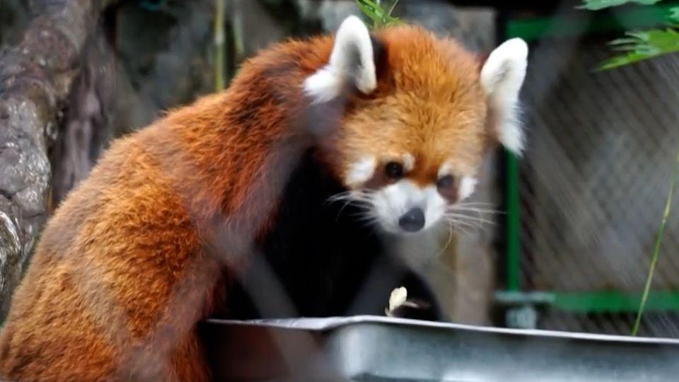 สวนสัตว์เชียงใหม่ จัดกิจกรรม แพนด้าแดง ทายผลฟุตบอลยูโร