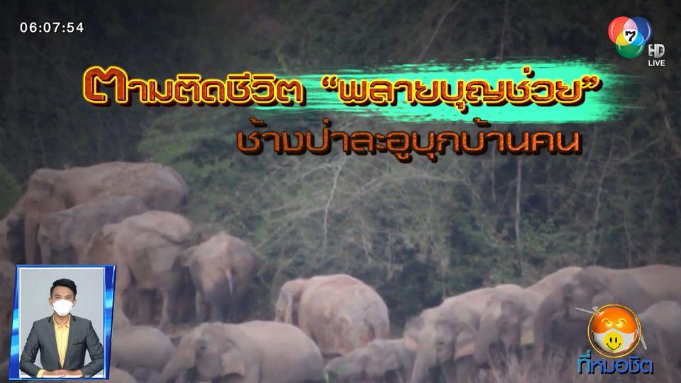 Green Report : ตามติดชีวิต พลายบุญช่วย ช้างป่าละอูบุกบ้านคน
