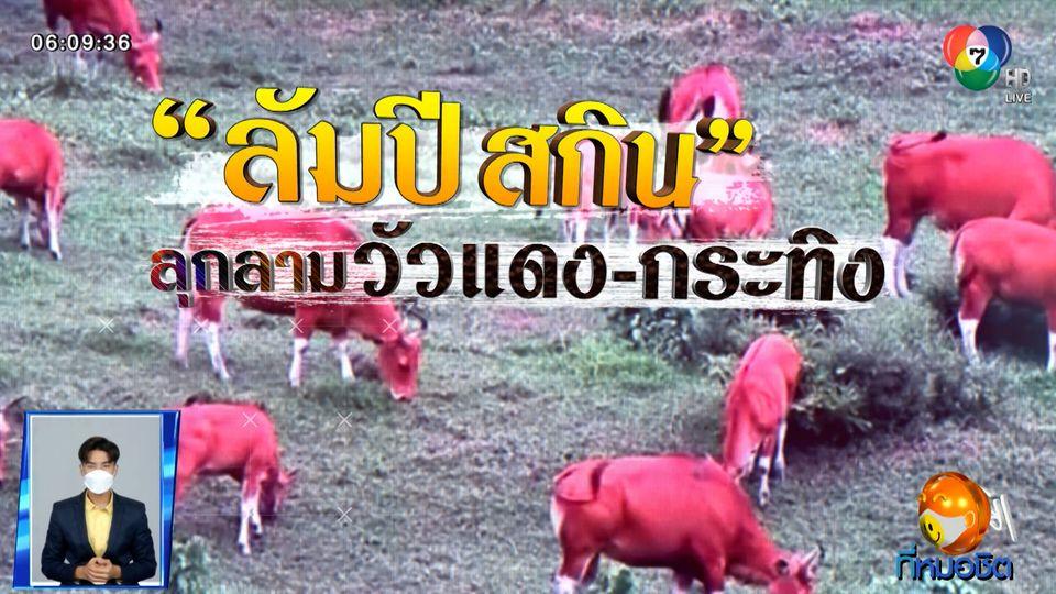 Green Report : ลัมปี สกิน ลุกลามวัวแดง-กระทิง