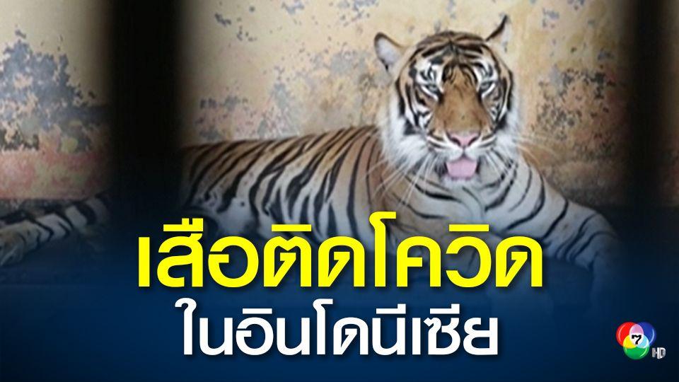 อินโดนีเซีย เร่งหาสาเหตุที่ทำให้เสือสุมาตรา 2 ตัว ติดโควิด
