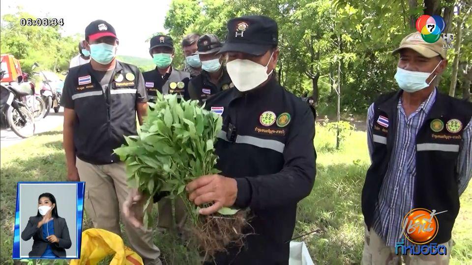 Green Report : ขโมยฟ้าทะลายโจร ป่าชุมชน หวั่นสูญพันธุ์