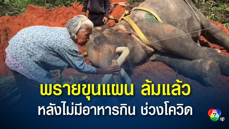 ช้างพรายขุนแผน อายุ 64 ปี ล้มแล้ว หลังรักษาตัวนานหลายเดือน เนื่องจากไม่มีอาหารกินช่วงโควิด