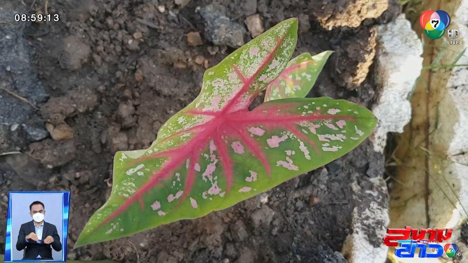 ภาพเป็นข่าว : หญิงอายุ 64 ปี ร่ำไห้ หลังรู้ว่าต้นบอนสีถูกขโมยจนเกลี้ยง จ.เพชรบูรณ์