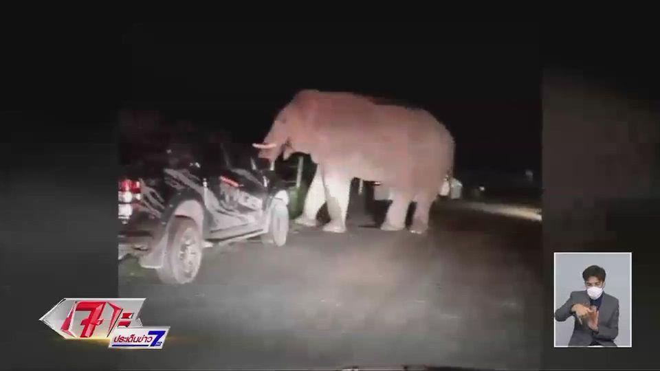 พี่ด้วน ช้างป่าเขาใหญ่ลงหากินในชุมชน ฉุนวิ่งเข้าใส่เจ้าหน้าที่